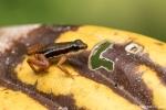 Pfeilgiftfrosch (Silverstoneia flotator), Striped Rocket Frog