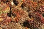 Aus diesen Palmenfrüchten wird das begehrte - weil billige - Palmöl gewonnen