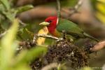 Andenbartvogel (Eubucco bourcierii)
