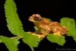 Baumfrosch (dendropsophus ebraccatus), Harlequin Treefrog