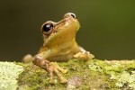 Regenfrosch (Craugastor talamancae), Talamancan Rain Frog
