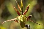 Frauenschuh-Orchidee
