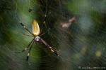 Goldene Seidenspinne (Nephila clavipes), Golden Orb-web Spider
