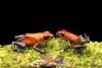 Erdbeerfrösche (Oophaga pumilio), Blue Jeans Dart Frog