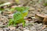 Emerald Basilisk (Basiliscus plumifrons)
