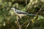 Elsterhäher (Calocitta formosa), White-throated Magpie-Jay