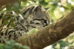 Ozelot (Felis Leopardus pardalis), Ocelot
