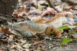Grüner Leguan (Iguana iguana), Green Iguana