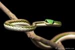 Mexikanische Dünnschlange auch Papageienschlange oder Mexikanische Schlanknatter, (Leptophis mexicanus), Mexican Parrot Snake