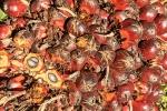Palmölfrüchte