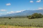 Ananasplantagen von Del Monte