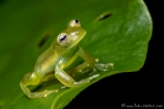 Glasfrosch (Sachatamia ilex), Lemon Glass Frog