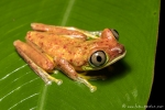 Tigerlaubfrosch (Cruziohyla calcarife), Gray-Eyed Tree Frog
