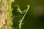 Gottesanbeterin (Mantis)