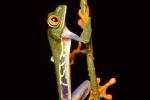 Rotaugenfrosch (Agalychnis callidryas), Red-eyed Leaf Frog