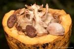 Aufgebrochene Kakaofrucht