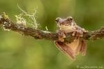 (Craugastor megacephalus), Broad-headed Rain Frog