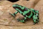 Goldbaumsteiger (Dendrobates auratus), Black and Green Dartfrog