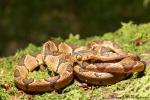 Riesennatter (Imantodes cenchoa), Common Blunt-headed Snake