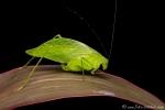 Blattschrecke (Cycloptera speculata), Leaf-mimicking Katydid