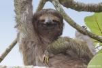 Braunkehl-Faultier (Bradypus variegatus), Brown-throated Three-toad Sloth