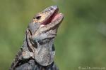 Gemeiner Schwarzleguan (Ctenosaura similis), Black Ctenosaur