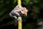 Kronenlaubfrosch , Anotheca spinosa (Crowned Tree Frog) - mit zunehmendem Alter wird die Haltung schlechter! ;-)