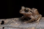 Strabomantis bufoniformis (Rusty Robber Frog)