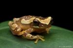 Dendropsophus ebraccatus (Hourglass Tree Frog)