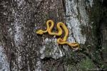 Klebt am Baum wie eine Gummischlange - Greifschwanz-Lanzenotter (Bothriechis schlegelii)