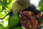 Kapuzineraffe (Cebinae) mit erbeuteter Chips-Tüte