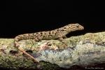 Gelbbauch-Blattfingergecko (Phyllodactylus tuberculosus), Tuberculate Leaf-toed Gecko