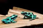 Pfeilgiftfrosch, Dendrobates auratus (Green-and-Black Poison Dart Frog)