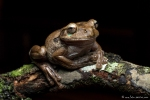 Trachycephalus typhonius (Milk Frog)
