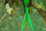 Männlicher Quetzal mit wunderschöner Schwanzfeder