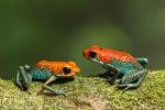 Pfeilgiftfrosch, Oophaga granulifera, (Granular Poison Dart Frog)