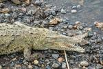 Krokodile von der Krokodilbrücke des Rio Tarcoles