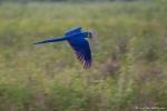 Hyazinth-Ara (anodorhynchus, hyacinthus), Hyacinthine macaws,