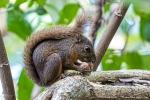 Red-tailed Eichhörnchen