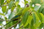 Mönchssittiche (Myiopsitta monachus), Monk Parakeet