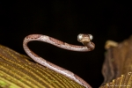 Riemennatter (Imantodes cenchoa), Common Blunt-headed Snake