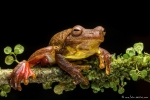 Tlalocohyla loquax (Swamp Tree Frog)
