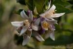 Blüten eines Orangenbaumes