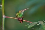 Farbenprächtiger Kolibri (Nektarvogel)