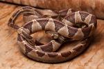 Riesennatter (Imantodes cenchoa), Common Blunthead Tree Snake