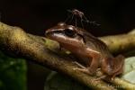 Regenfrosch mit Moskito beim Nachtmahl (Pristimantis achatinus), Pastures Rainfrog