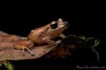 Regenfrosch (Pristimantis luteolateralis), Yellow-groined Rainfrog
