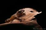 Regenfrosch (Pristimantis achatinus), Pastures Rainfrog