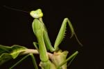 Gottesanbeterin, Mantis