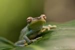 Baumfrosch (Hypsiboas pellucens), Palmar tree frog